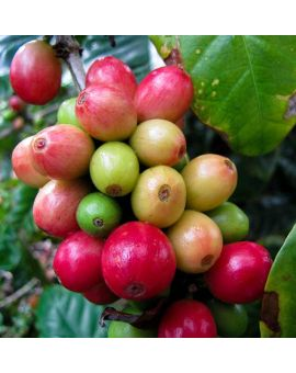 Coffea arabica 'Coffee'