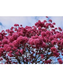 Tabebuia impetiginosa 'Purple Trumpet Tree'