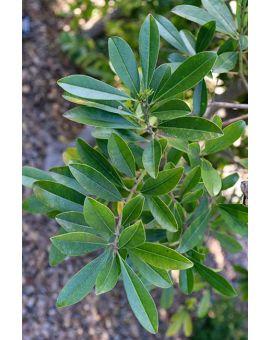 Ilex paraguariensis 'Yerba Mate'