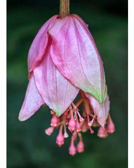 Medinilla magnifica 'Philippine Orchid'
