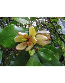 Michelia figo 'Hagiwara'