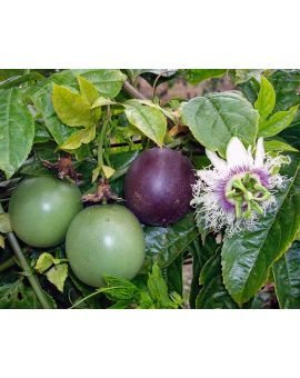 Passiflora edulis 'Possum Purple'