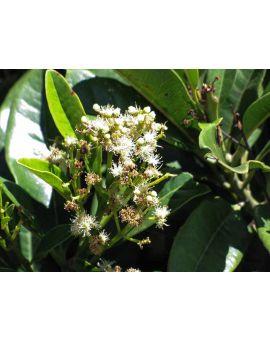Pimenta dioica 'Allspice'
