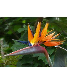 Strelitzia reginae 'Orange Bird of Paradise'