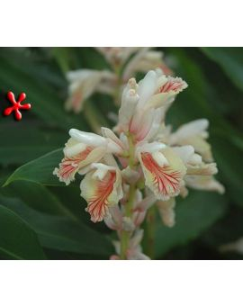 Alpinia oxyphylla 'China White Ginger'