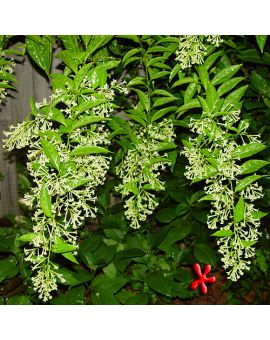 Cestrum nocturnum 'Night Blooming Jasmine'