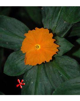 Chamaecostus cuspidatus