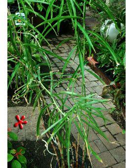 Costus stenophyllus