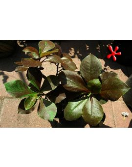 Synadenium grantii var. rubrum