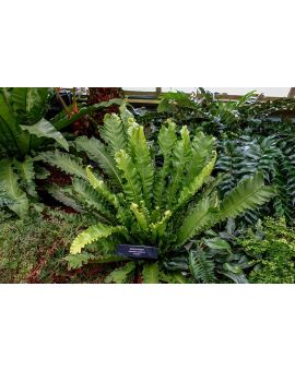 "Asplenium antiquum 'Victoria' ""Bird Nest Fern"""