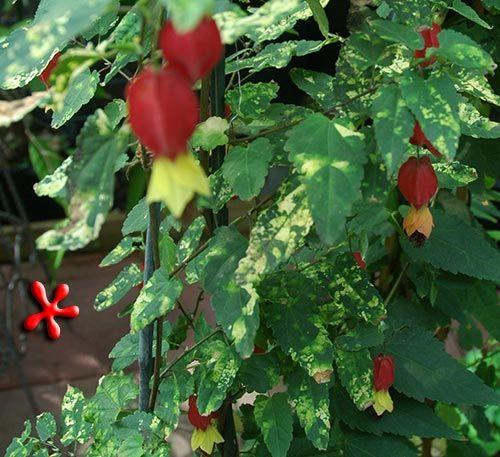 Get It Here Abutilon Megapotamicum Variegated Chinese Lanterns