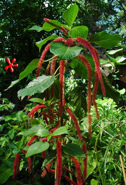 Buy It Acalypha Hispida Red Hot Cattail At Zone 9 Tropicals