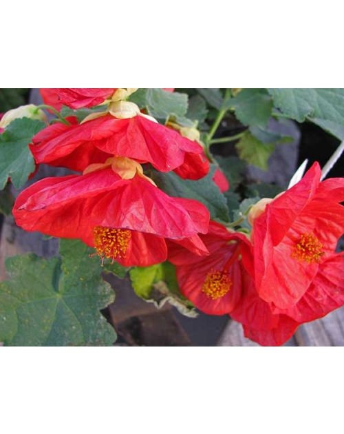 Outageous Abutilon Bella Red Flowering Maple
