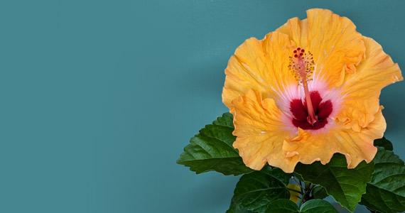 Hibiscus Mandarin WInd