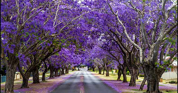 Tropical Flowering Jacaranda Trees