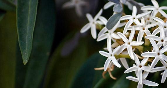 Buy Exotic Jasmines