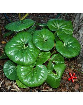 Farfugium japonicum 'Gigantea'