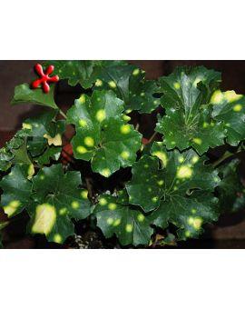 Farfugium japonicum 'Aureomaculatum' 'Leopard Ligularia'