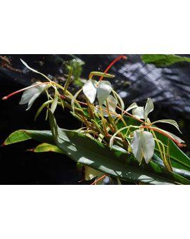 Hedychium samuiense epiphytic ginger