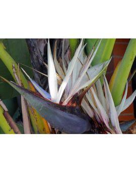 Strelitzia nicolai 'Giant White Bird-of-Paradise'