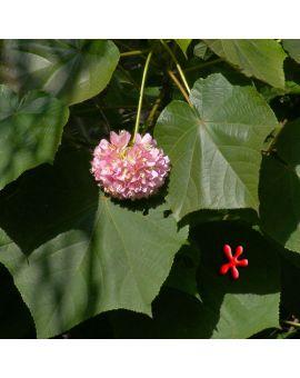 Dombeya x seminole 'Pink Cloud'