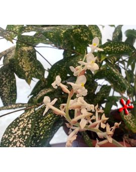 Draceana godseffiana 'Florida Beauty'