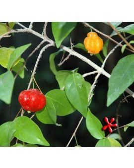 Eugenia uniflora 'Surinam Cherry'
